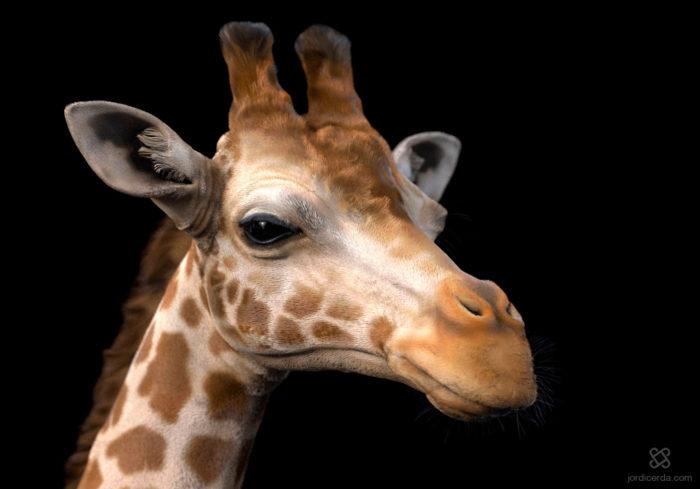 jordi-cerda-gaya-keyshot-giraffe-01